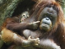 Orangotango Utan do bebê e mãe Foto de Stock