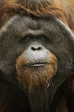 Orangotango velho Utan Fotos de Stock