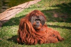 Orangoutang в зоопарке Лиссабона стоковые изображения