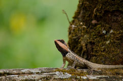 Orangr spiny lizard Royalty Free Stock Photos
