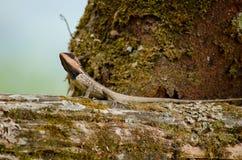 Orangr spiny lizard Stock Photos