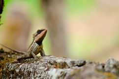 Orangr spiny lizard Royalty Free Stock Photography