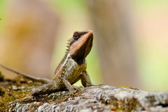Orangr spiny lizard Royalty Free Stock Photos
