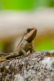 Orangr spiny lizard. Single orange spiny lizard sitting on the tree Stock Photo