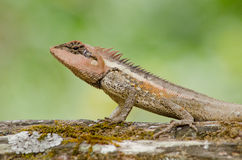 Orangr spiny lizard Royalty Free Stock Image