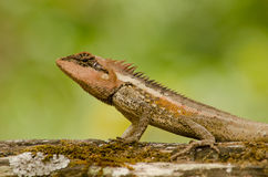 Orangr spiny lizard. Single orange spiny lizard sitting on the tree Royalty Free Stock Photo