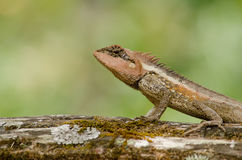 Orangr spiny lizard Royalty Free Stock Images