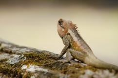 Orangr spiny lizard Stock Photo