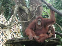 Orangs-outans Photo stock
