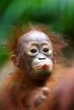 Orangs-outans Photo stock