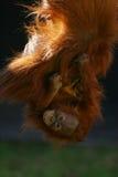 Orangs-outans photos stock