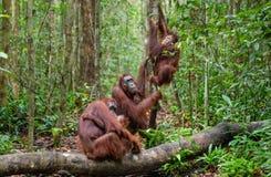 Orangs-outans dans un habitat naturel Images stock
