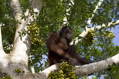 Orangs-outans tendres, Bornéo photos libres de droits