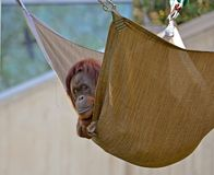 Oranguntan in a hammock Royalty Free Stock Photo