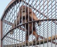 Oranguntan w klatce 01 Zdjęcia Royalty Free