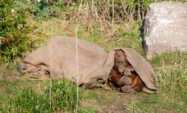 Orangután Imagen de archivo libre de regalías