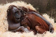 Orangután Foto de archivo