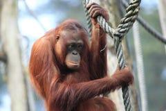 Orangután Imagen de archivo