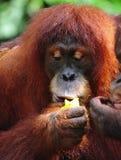 Orangután Fotos de archivo libres de regalías