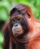 Orangután Fotografía de archivo