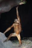 Orangután, abelii del pygmaeus del Pongo Fotografía de archivo