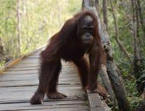 Orangután adolescente Fotos de archivo libres de regalías