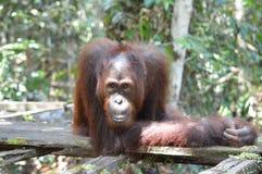 Orangután adolescente Fotos de archivo