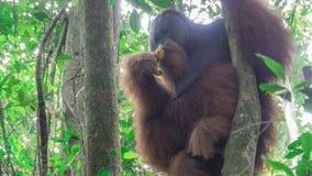 Orangután adulto gigante que se sienta en un árbol Foto de archivo