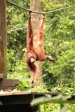 Orangután adulto que cuelga de cuerda Foto de archivo libre de regalías