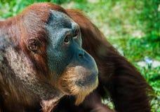 Orangután apacible Imágenes de archivo libres de regalías