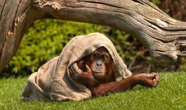Orangután bajo el saco Imágenes de archivo libres de regalías