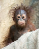 Orangután - bebé con la cara divertida Fotografía de archivo