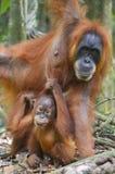 Orangután, Bukit Lawang, Sumatra, Indonesia Imágenes de archivo libres de regalías