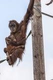 Orangután con el bebé Foto de archivo