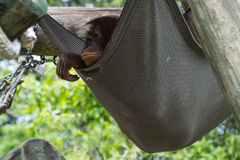 Orangután de Bornean - Pongo Pygmaeus foto de archivo libre de regalías