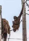 Orangután de la madre y del bebé Imágenes de archivo libres de regalías