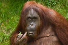 Orangután de Sumatran Imagenes de archivo