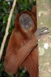 Orangután de Sumatran Imágenes de archivo libres de regalías
