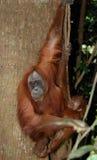 Orangután de Sumatran con el bebé Fotografía de archivo