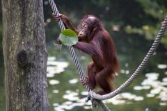 Orangután del bebé imagen de archivo