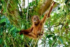 Orangután del bebé que tiene meditación en la rama Sumatra, Indonesia Imágenes de archivo libres de regalías