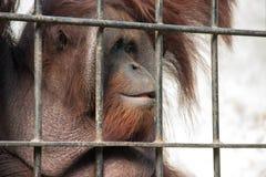 Orangután en cautiverio Fotos de archivo libres de regalías