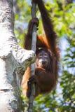 Orangután en el bosque de Kalimantan Imágenes de archivo libres de regalías