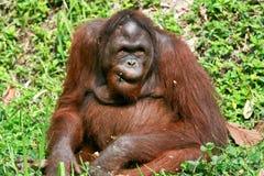 Orangután en el chiangmai Tailandia del nightsafari Imagen de archivo