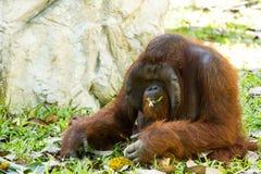 Orangután en el chiangmai Tailandia del parque zoológico del chiangmai Imagenes de archivo