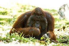 Orangután en el chiangmai Tailandia del parque zoológico del chiangmai Fotos de archivo libres de regalías