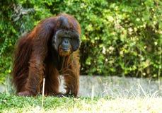 Orangután en el chiangmai Tailandia del parque zoológico del chiangmai Fotos de archivo