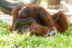 Orangután en el chiangmai Tailandia del parque zoológico del chiangmai Fotografía de archivo
