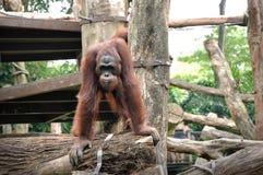 Orangután en el parque zoológico de Singapur Fotografía de archivo