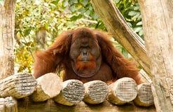 Orangután en el parque zoológico Tailandia del chiangmai Fotos de archivo
